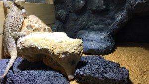 擬岩バックボードとフトアゴヒゲトカゲ