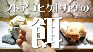 餌を食べるフトアゴヒゲトカゲ