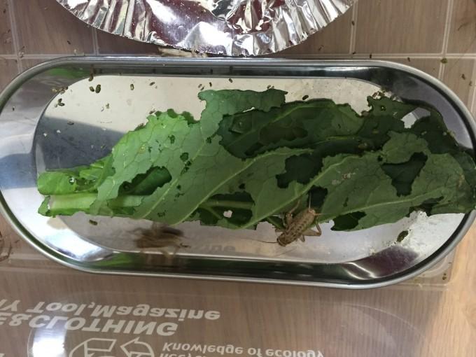 小松菜を食べるコオロギ