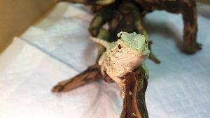 脱皮中のフトアゴヒゲトカゲのベビー