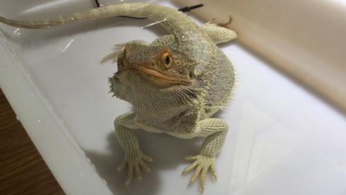 温浴をするフトアゴヒゲトカゲ