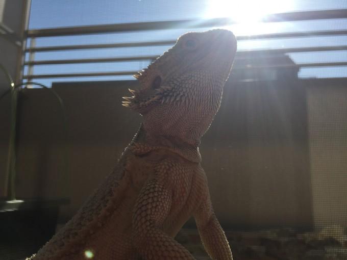日光浴をする爬虫類のどんぐり氏