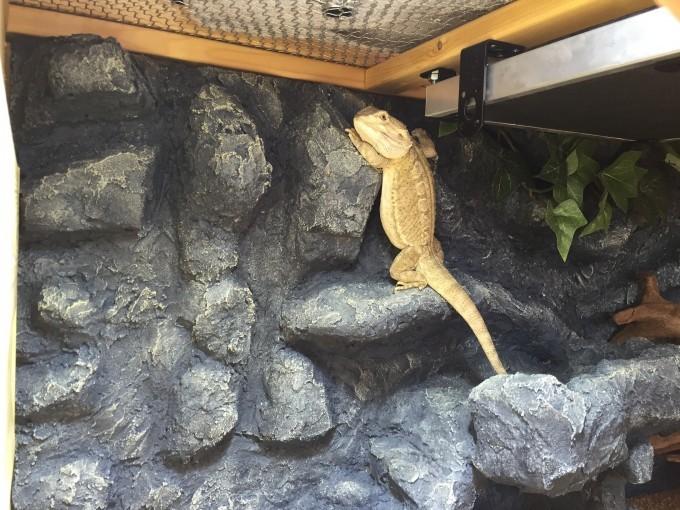 壁によじ登るフトアゴヒゲトカゲ