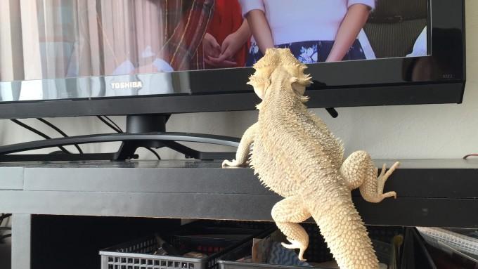 テレビを見るフトアゴ
