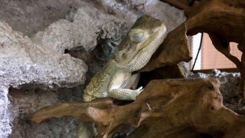 フトアゴヒゲトカゲの寝相・寝顔